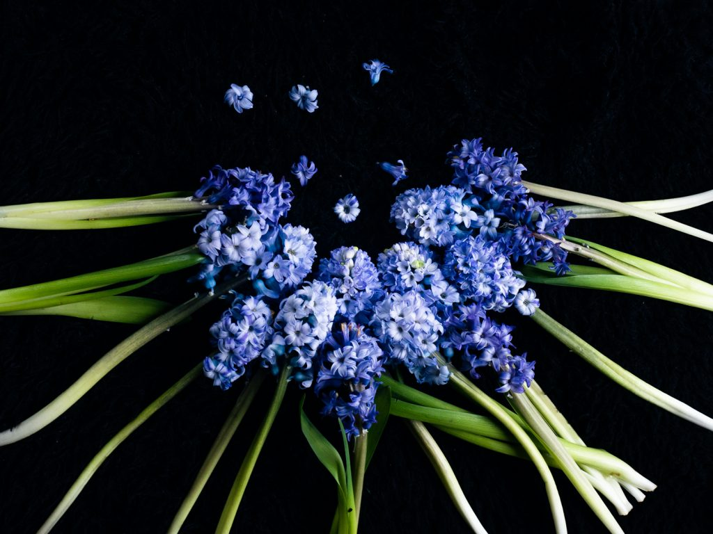 Bloemportret met blauwe hyacinten in een halve cirkel