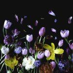 Bloemportret, een liggend bosje voorjaar met tulpen en hyacinten op een zwarte achtergrond