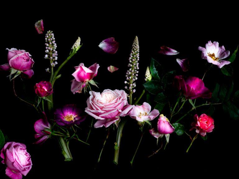 Bloemportret met roze Engelse rozenknop een zwarte achtergrond